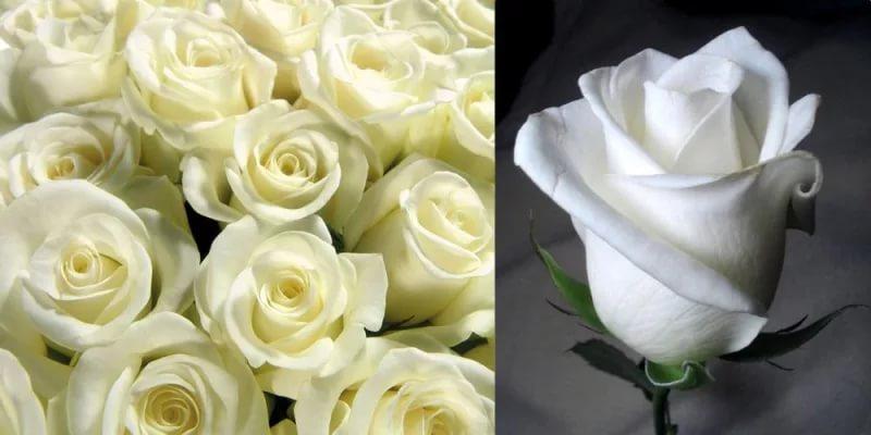 Белые цветы значение розы