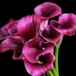 Каллы — значение цветка